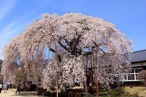 IMG_0016旧 山本小学校の桜.JPG